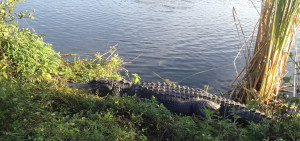 Post image for Alligators in the Everglades