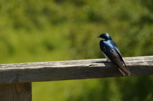 Purple Martin watching Yoga