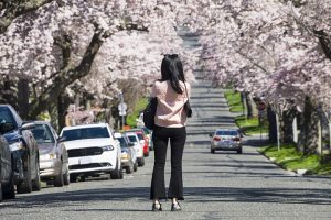 Post image for Cherry Blossom Explosion in Victoria BC – Vlog 62